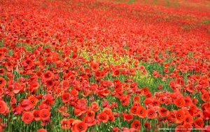 field-of-poppies
